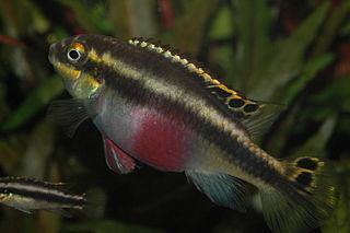 <i>Pelvicachromis</i> genus of fishes