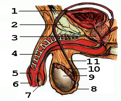 Penis Anatomy2 numbers