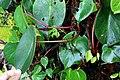 Peperomia choroniana (Piperaceae) (30139447291).jpg