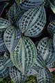 Peperomia sandersii - Kolkata 2013-11-10 4490.JPG