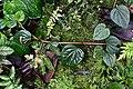 Peperomia sp. (Piperaceae) (30441171486).jpg