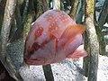 Percoidei - Cephalopholis miniata - 1.jpg