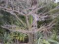 Pereskia lychnidiflora tree.jpg
