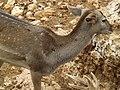Persian Fallow Deer 01.jpg
