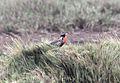 Peruvian Meadowlark (Sturnella bellicosa).jpg