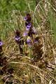 Petersberg Marbach Haune Glechoma hederacea Auenverbund Fulda LPA378401 Grubenmuehle.png