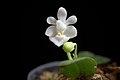 Phalaenopsis parishii fma. alba (x self) Rchb.f., Bot. Zeitung (Berlin) 23- 146 (1865) (34727710724).jpg