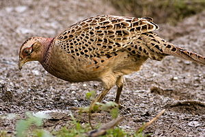 "Common pheasant - Female (""hen"") in England"