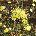 Phebalium stenophyllum.jpg