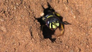 File:Philanthus triangulum - 2012-10-17.webm