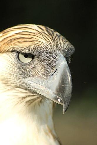 Philippine eagle - Image: Philippine Eagle in Davao