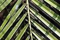 Phoenix roebelenii 17zz.jpg