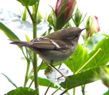 Adult bird wintering in Hong Kong (China) shows the typical wing and upper head pattern
