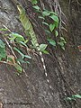 Physignathus cocincinus (Cuvier, 1829) Indo-chinese Water Dragon (15741352733).jpg