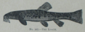 Picture Natural History - No 207 - The Loach.png