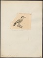 Picumnus ruficollis - 1700-1880 - Print - Iconographia Zoologica - Special Collections University of Amsterdam - UBA01 IZ18700015.tif