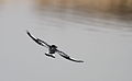 Pied Kingfisher, Ceryle rudis at Borakalalo National Park, South Africa (9822716424).jpg