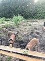 Pigs in WestPark PlukN Varkens Tarralaan.jpg
