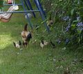 PikiWiki Israel 13435 Ten hen chicks.jpg