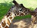 PikiWiki Israel 5107 giraffe in ramat gan safari.jpg