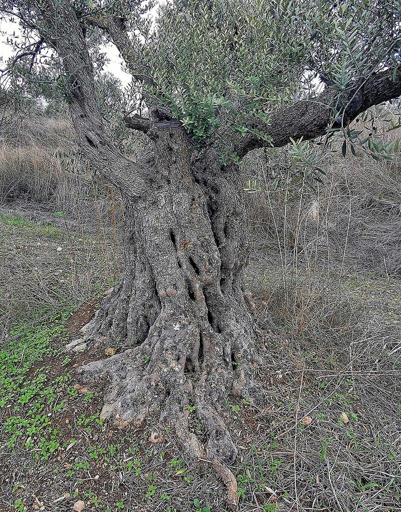 עץ זית ותיק