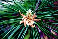 Pine flowers.jpg