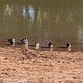 Pink-eared duck Burke River Boulia Queensland P1030186.jpg