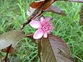 Pink guava flower.jpg