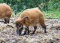 Pinselohrschwein Tierpark Hellabrunn-5.jpg