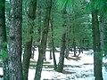 Pinus wallichiana Pahalgham.jpg