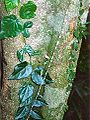 Piper novae-hollandiae Foxground Black Apple 2004-March.jpg