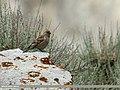 Plain Mountain Finch (Leucosticte nemoricola) (25422305930).jpg