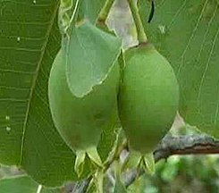 Planchonia careya fruit.jpg