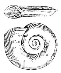 Planorbis carinatus drawing