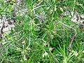 Plantago arborescens JBCVC.JPG