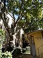 Platan javorolistý ve dvoře domu, Praha, mezi ulicí Na příkopě a Senovážným náměstím.jpg