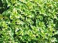 Plectranthus scutellarioides (Lamiaceae).jpg
