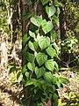 Pleogyne australis.jpg