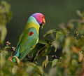 Plum-headed Parakeet (Psittacula cyanocephala) feeding on Lantana W IMG 4519.jpg