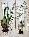Poa sudetica — Flora Batava — Volume v20.jpg