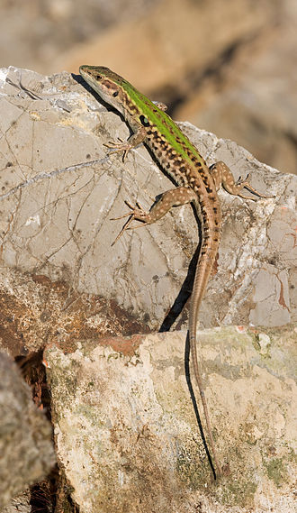 Italian wall lizard - Image: Podarcis sicula rb edit