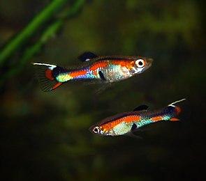 Endlers Guppy (zwei Männchen).