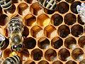 Pollen als Bienenfutter.jpg