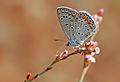 Polyommatus icarus 06.jpg