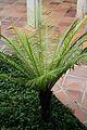 Polypodiaceae-SudAmerica (1) (11982479585).jpg