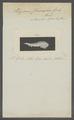 Polyporus chamaeleon - - Print - Iconographia Zoologica - Special Collections University of Amsterdam - UBAINV0274 105 11 0003.tif
