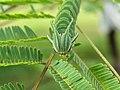 Polyura athamas - common nawab at Madayippara (3).jpg