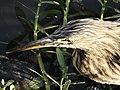 Pond Heron 002.jpg