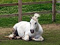 Pony at Wilton Windmill - geograph.org.uk - 506540.jpg