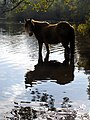 Pony standing in Eyeworth Pond, New Forest - geograph.org.uk - 274030.jpg